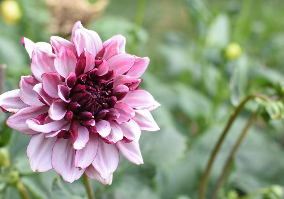 Dark Maroon, pink and white Dahlia bloom in the field
